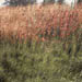 Tall red grass